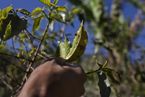 Coffee Workers Unemployed as Fungus Hits Central America
