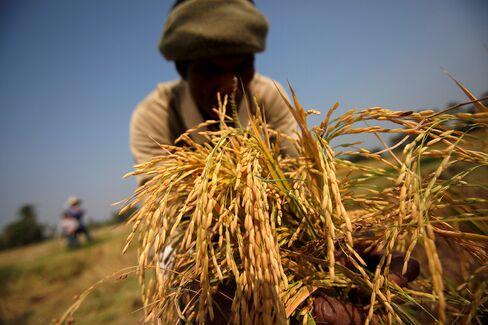 Thai Rice Stocks to Surge