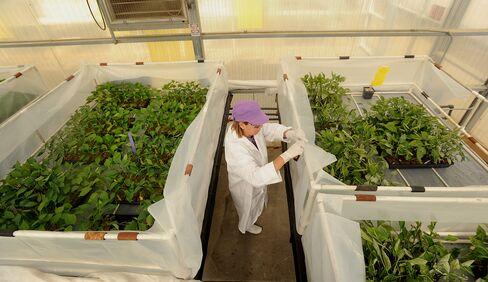 Monsanto Raises Forecast as Profit Grows on Corn Seed Sales