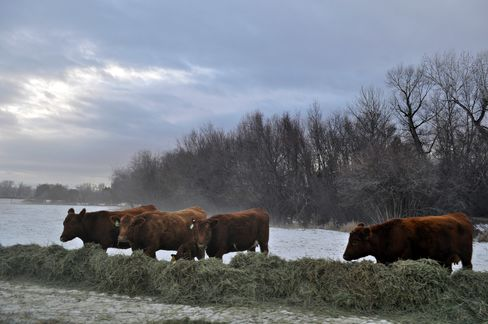 Montana Cattle in the Winter