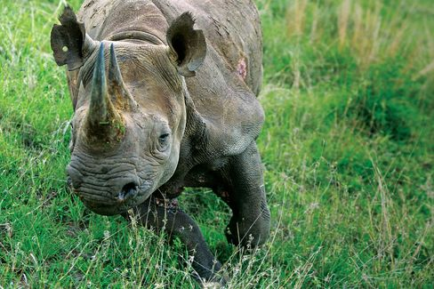 At the Mauricedale ranch in South Africa, an endangered black rhino charges. Photographer: James Oatway/Bloomberg Businessweek