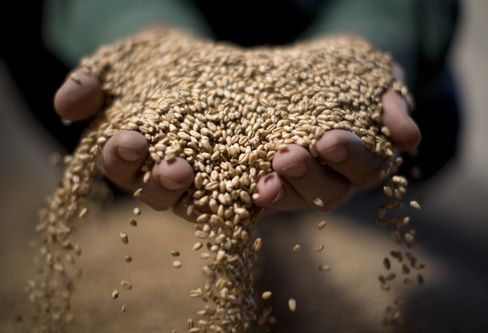 Russian Wheat Facing Coldest Winter in Two Decades