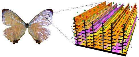 Morpho Sulkowskyi Butterfly