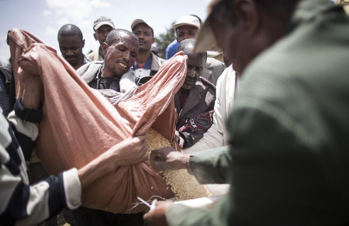Ethiopian Barley Harvest