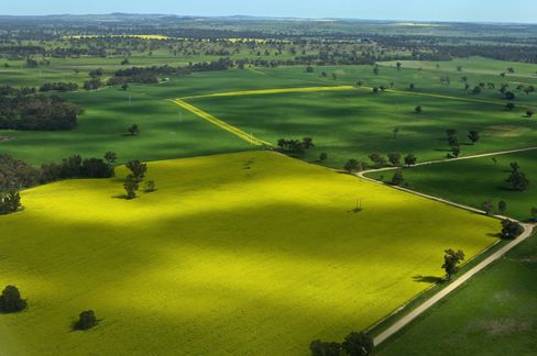 Canola Fields for Biofuel