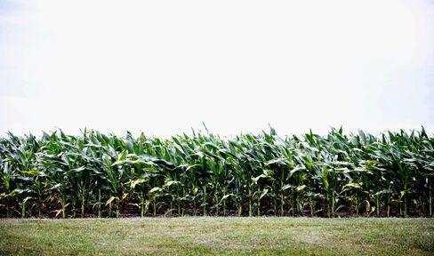 Cheap Corn Deters Buyers in U.S. Sugar-for-Ethanol Program