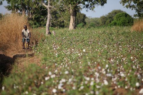 A man cycles along a dirt track and past a field of organic cotton plants near Benvar, Burkina Faso. Photographer: Chris Ratcliffe/Bloomberg