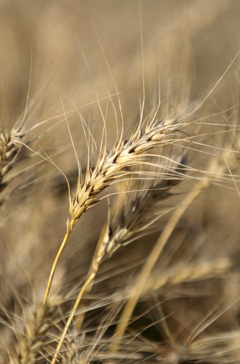 Forecast Gap Keeping Wheat Market Guessing on Argentine Crop