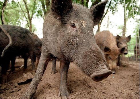 Texas Feral Pigs Causing Highway Wrecks Defy Sharpshooters