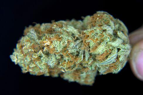 U.S. Said Not to Plan Challenge of State Marijuana Legalization