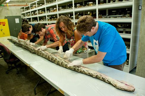 Biggest Python Found in Everglades in Sign of Continued Invasion