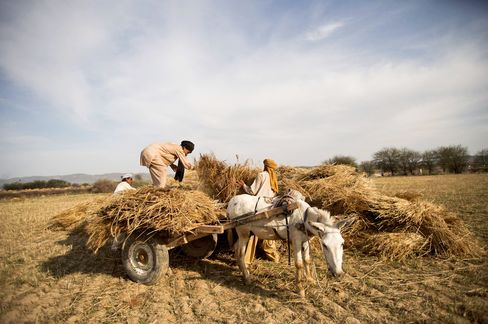 Wheat Harvest in Pakistan