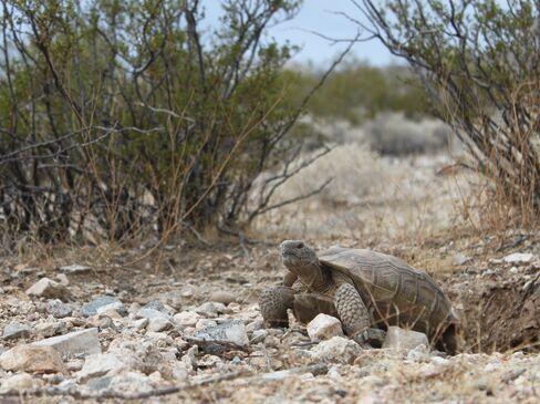 Saving Mojave Tortoises Trumps Solar Power