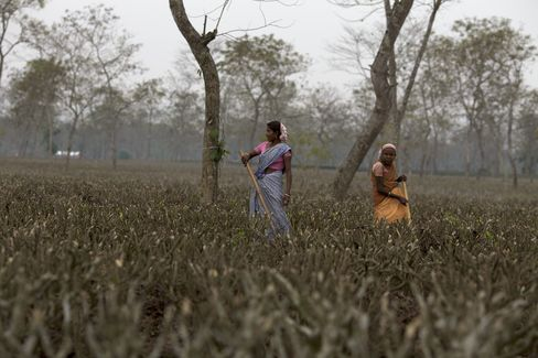 Biggest Tea Grower Sees Prices Boosting Profit