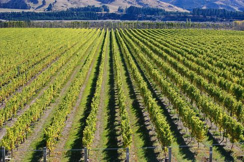 Wine Production Seen Shifting From Bordeaux to N.Z. on Climate
