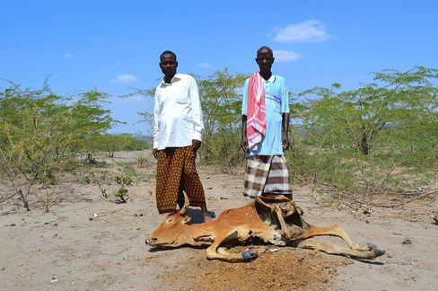 A dead cow lies in Afar region.
