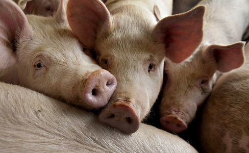Fat Pigs Means Pork Bust as Record Herd Ends Rally
