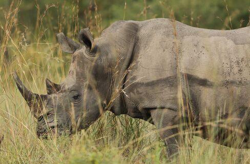 A Rhinoceros Stands in Kruger National Park