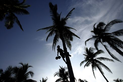 Coconut plantation in the Philippines