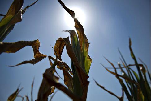 Europe Heat Wave Wilting Corn Adds to U.S. Drought