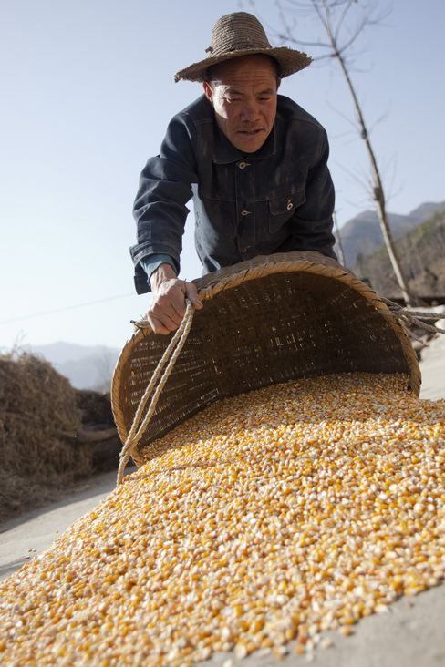 Typhoon No Bar to Third Record Chinese Corn Harvest