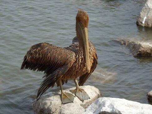 BP Spill Settlement Is $2.4 Billion Windfall for Wildlife Group