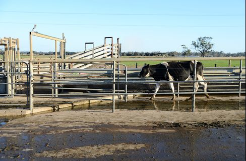 A Friesian Cow Exits The Milking Parlor