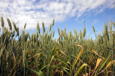 U.S. Wheat Harvest May Be Worse Than Forecast