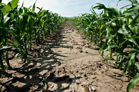 Corn Drops to 33-Month Low on Midwest Rain; Wheat, Soybeans Fall