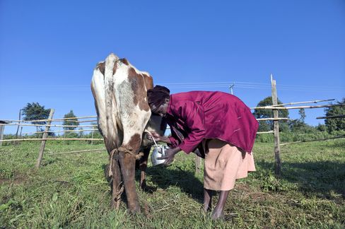 Mary Sadera, the wife of John Sadera, is seen milking a cow during one of her daily tasks in the village of Oloolong'oi, Kenya. Photographer: Ric Francis/Bloomberg
