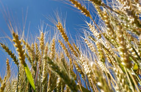Australia Cuts Wheat Output as Dry Weather Hurts Sowings