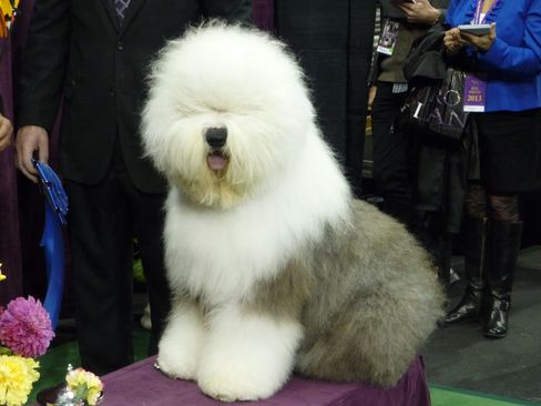 Swagger, Old English Sheepdog