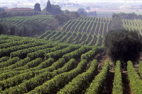 Ornellaia Vineyards