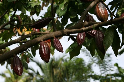 Cocoa Harvest in Indonesia to Drop on Palm Oil, Rubber Lure