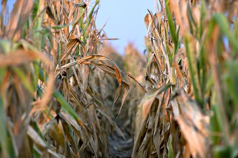 Ace Rallies as Greenberg Touts Crop Insurance