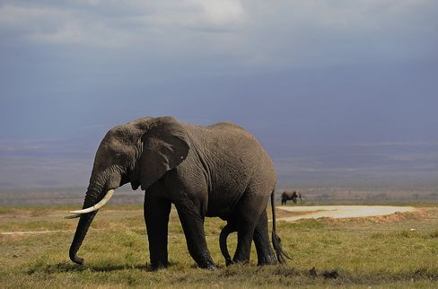 An Elephant Grazes in Amboseli National Park
