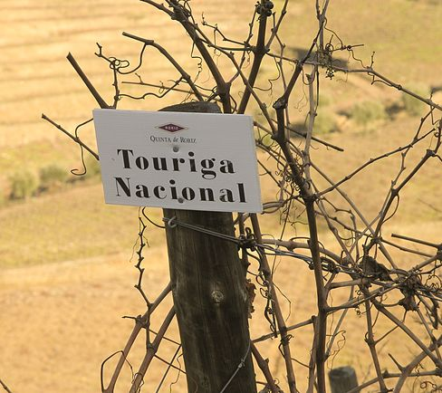 Touriga Nacional Vines