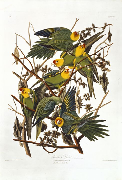 'Birds of America' Carolina Parakeets