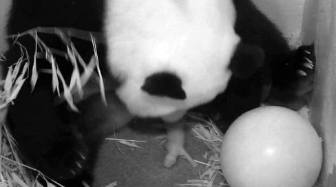 Panda Cam to Policymakers Working Again as U.S. Government Opens