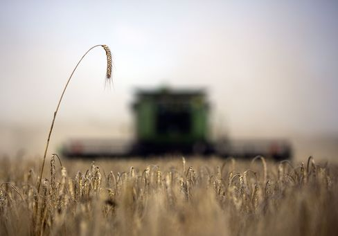 Wheat Harvest in Russia