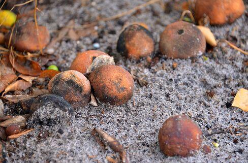 Bug Bites Cut Florida Orange Crop to Two-Decade Low