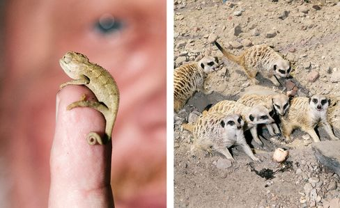 A baby chameleon (left) and meerkats in their pen.