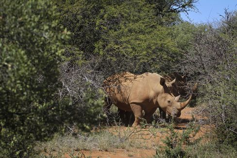 South Africa Pricing Fence Between Mozambique and Hunted Rhinos