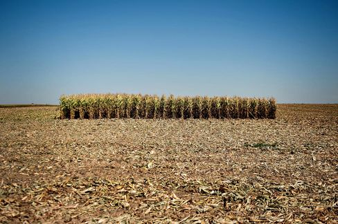 Corn field in Le Roy, Illinois, on Sept. 11, 2012. Corn output in the U.S., the world's largest grower, fell due to the worst drought in more than 50 years. Photographer: Daniel Acker/Bloomberg