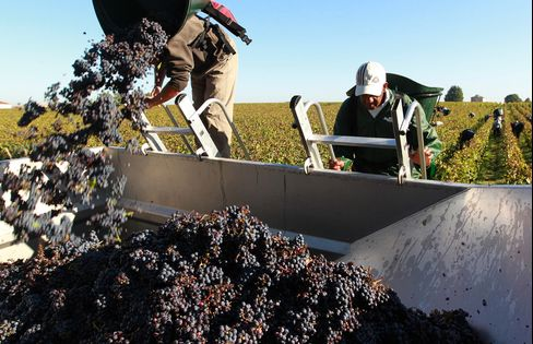 Harvest in the Bordeaux region