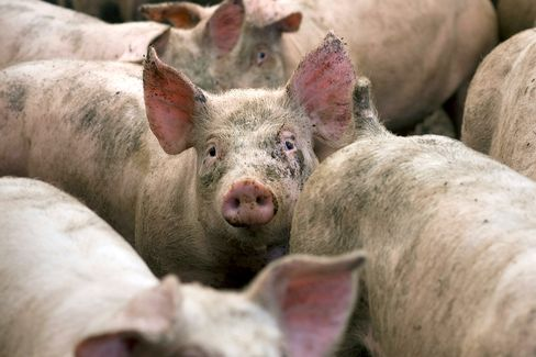 McDonald's to Phase Out Pig-Cruel Pens
