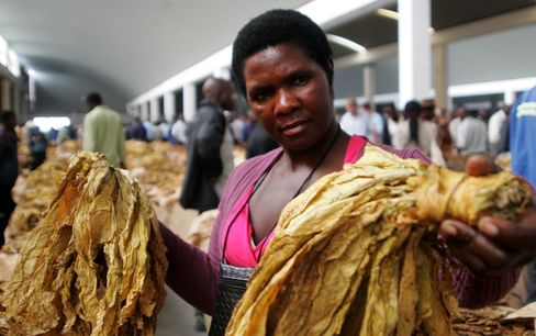 Zimbabwe's New Tobacco Farmers Winners of Mugabe Land Grab