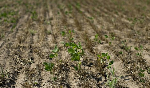 U.S. Soybean Crop Seen Falling to Nine-Year Low After Drought