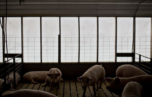 Hog Glut Gains as U.S. Exports Drop Most in Decade