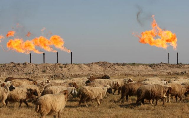 Iraqi leaders: show more initiative than the sheep grazingoutside the Halfaya oil field.